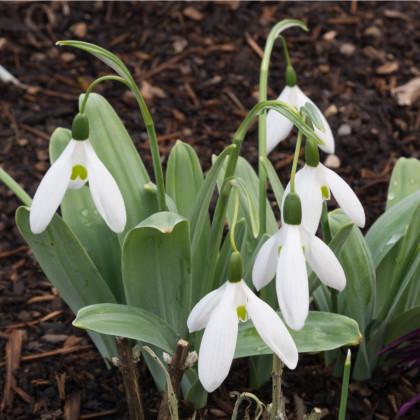 Snežienka Elwésova - Galanthus elwesii - cibule snežienky - cibuľky - 3 ks