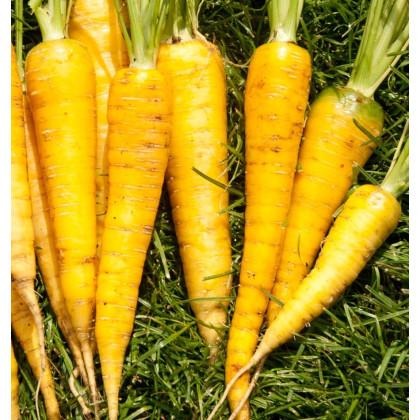 Mrkva Yellowstone - Daucus carota - semená - 0,5 g