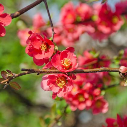 Dulovec - Chaenomeles Japonica- semená Dulovca - 5 ks