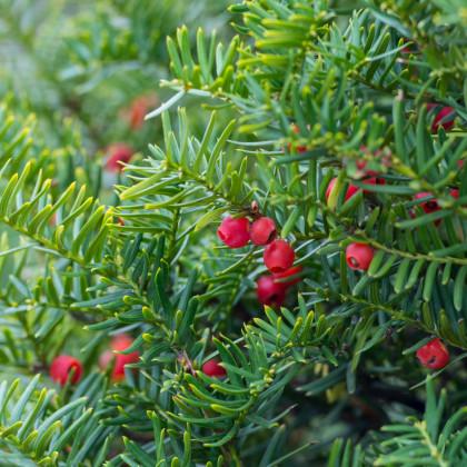 Tis japonský - Taxus Cuspidata - semená - 5 ks
