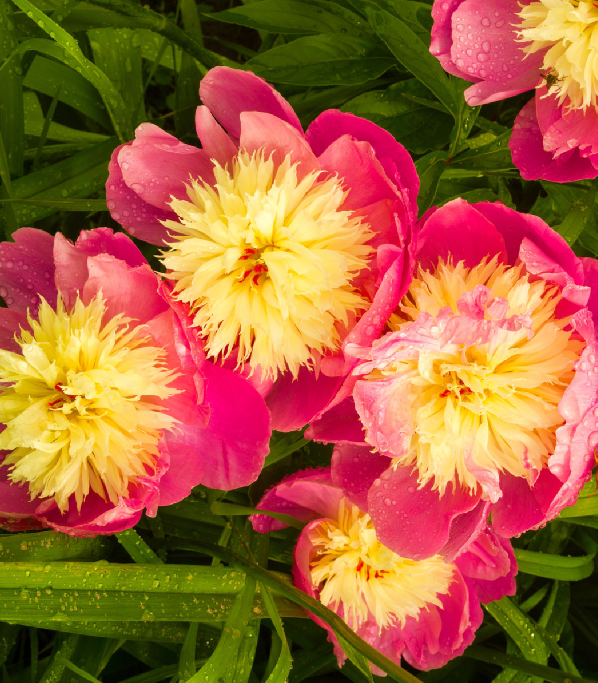 Pivónia Bowl of Beauty - Paeonia lactiflora - cibuľky pivoniek - 1 ks