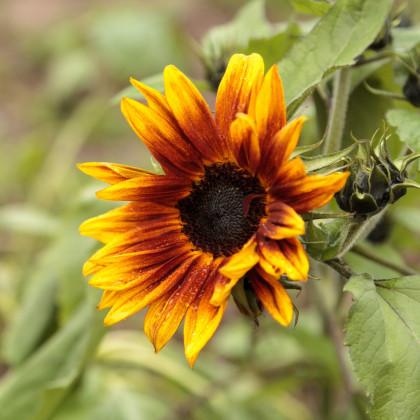 Slnečnica ročná Helios - Helianthus annuus - semená slnečnice - 7 ks
