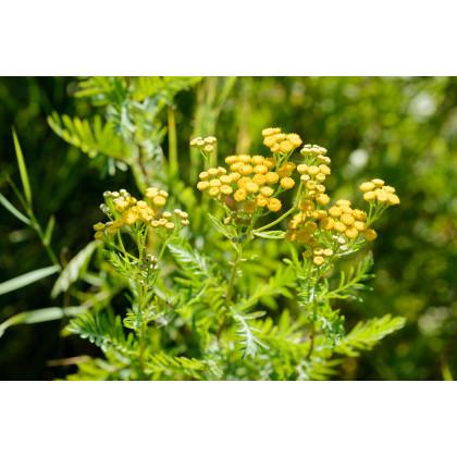 Margaréta vratič - Vratič obyčajný - Tanacetum vulgare - semená - 0,4 g