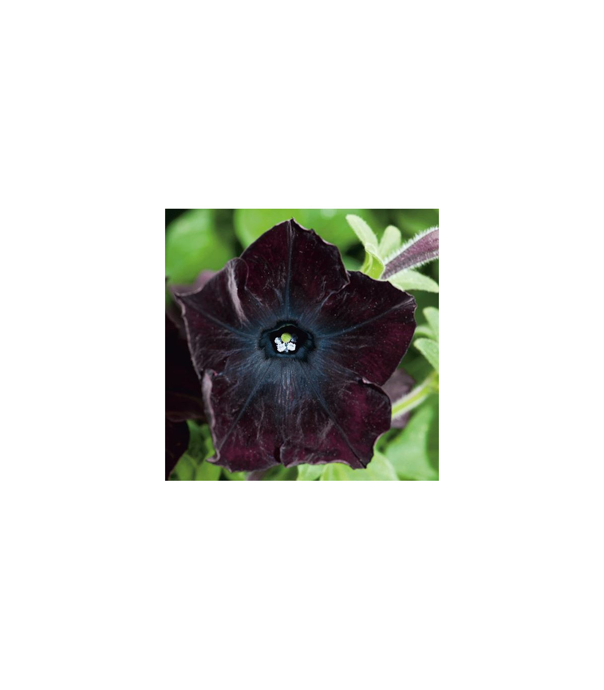 Petúnia Sophistica Blackberry - Petunia nana compacta - Semená - 15 ks