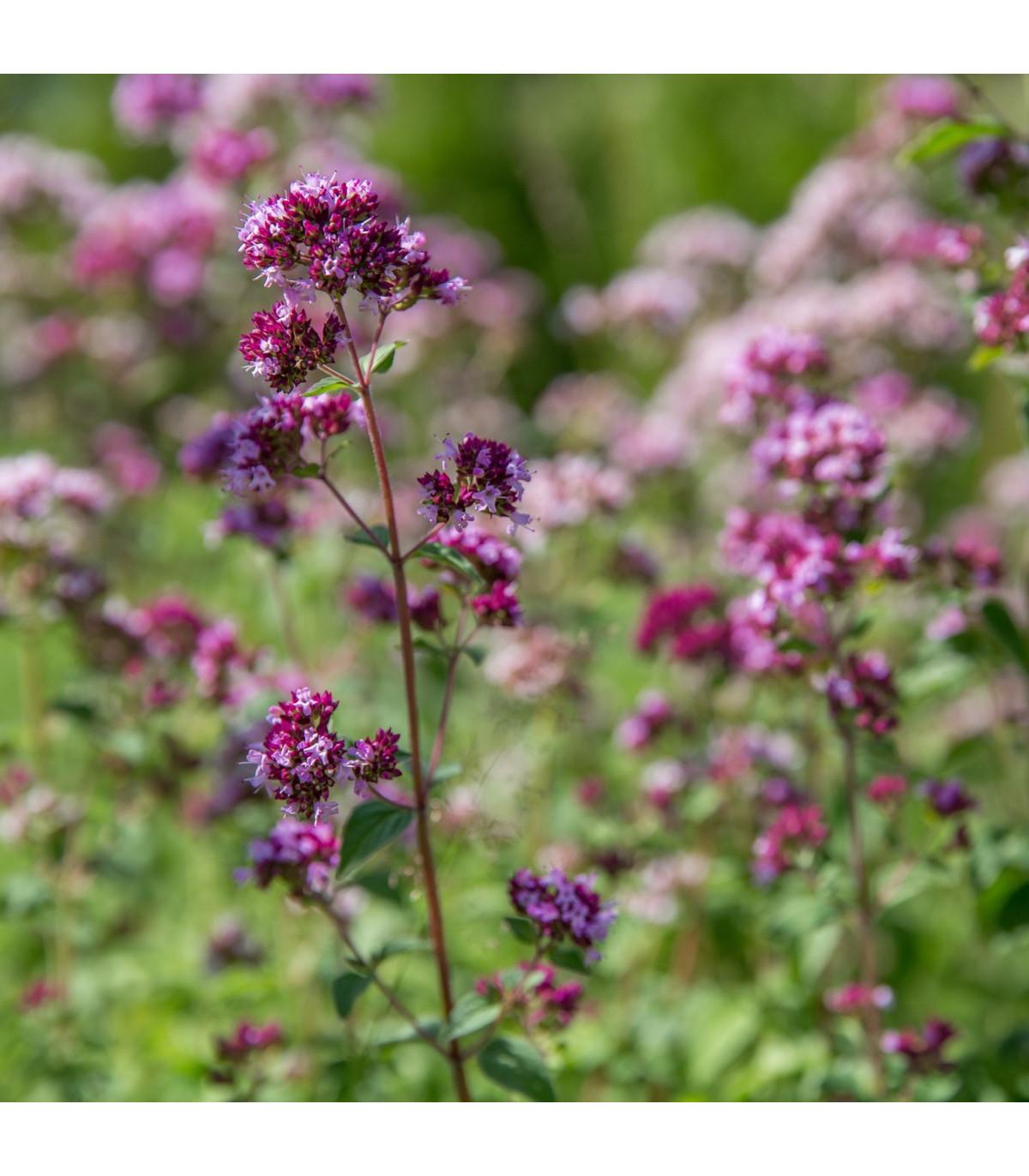 Bio pamajorán obyčajný - Origanum vulgare - bio semená pamajoránu - 0,3 g