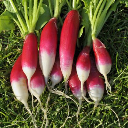 BIO reďkev Francúzske raňajky - Raphanus sativus - bio semená reďkvi - 80 ks
