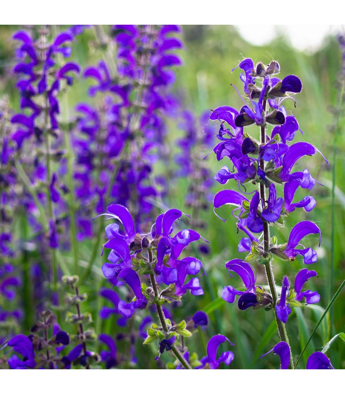 Šalvia lúčna - Salvia pratensis - semená - 150 ks
