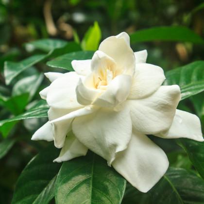 Gardénia jazmínovitá - Gardenia jasminoides - semená - 6 ks