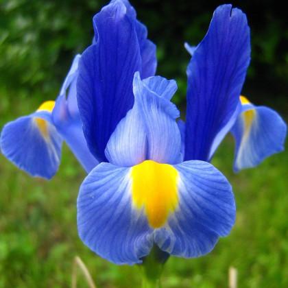 Kosatec Sapphire Beauty - Iris pumila - cibuľky kosatca - 3 ks