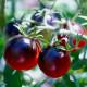 Paradajka - čierna Cherry paradajky - predaj semien - 6 ks